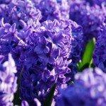 Giacinto orientalis Delft Blue