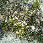 Giardino roccioso alpino