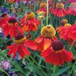 Helenium_Dark_Beauty-01