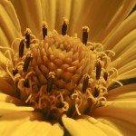 Heliopsis helianthoides - particolare
