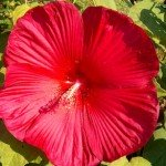 Hibiscus Southern Belle