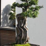 Come curare i bonsai