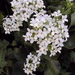 Kalanchoe blossfeldiana bianca