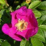 La Rosa Rugosa