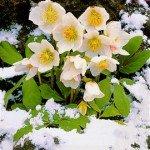 La rosa di Natale - Fra la neve