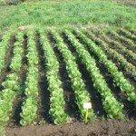 coltivare la lattuga