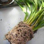 Coltivare le orchidee