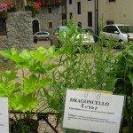 Le piante aromatiche - Dragoncello