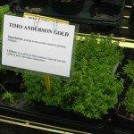 Le piante aromatiche - Timo