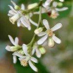 Neem - fiori