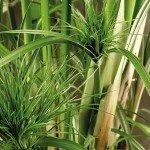 Esempio di pianta ossigenante - il papiro -