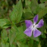 Fiori piante da ombra