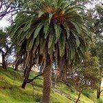 Palma tipica dei climi miti: Phoenix_canariensis