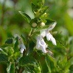 Il the siciliano fiorisce da aprile a giugno con fiori di colore bianco o lilla (foto del Dr. Pietro Zito)