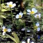 fiori d'acqua