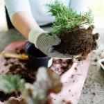 Rinvasare le piante d'appartamento