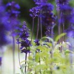 muri fioriti Salvia Farinacea