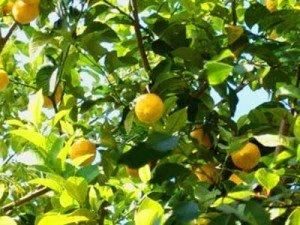 Albero di limoni con il giallo sgargiante dei suoi frutti