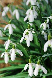 bucaneve fiore invernale