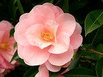 camellia japonica citation