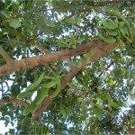 Il frutto del carrubo (qui ancora acerbo)  è ricco di zuccheri, fibre, pectine e sali minerali