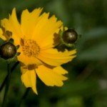 fiore coreopsis