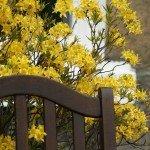 Le sfumature gialle e verdi delle piante di Forsythia danno luogo ad accostamenti cromatici molto apprezzati