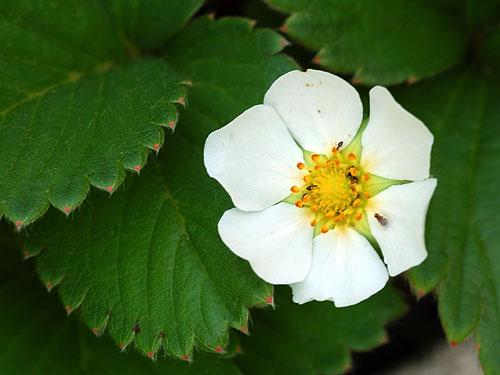 Fragole in fiore