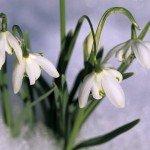 galanthus-nivalis
