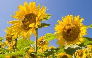 fiore del girasole