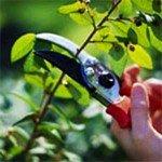 Come potare le rose del nostro giardino