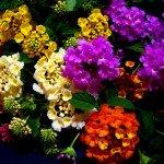 la lantana si caratterizza per i fiori che possono essere di svariato colore a seconda della varietà
