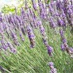 La lavanda è tra le piante officinali più apprezzate sia per la bellezza dei fiori che per il profumo caratteristico