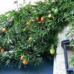 esempio di passiflora su muro di abitazione