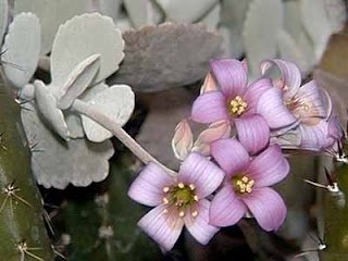Piante a fioritura invernale: KALANCHOE PUMILA