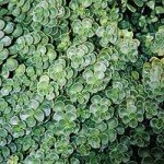 La pianta sempreverde ideale per tutte le stagioni