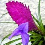 Fiore della Tillandsia Cynea